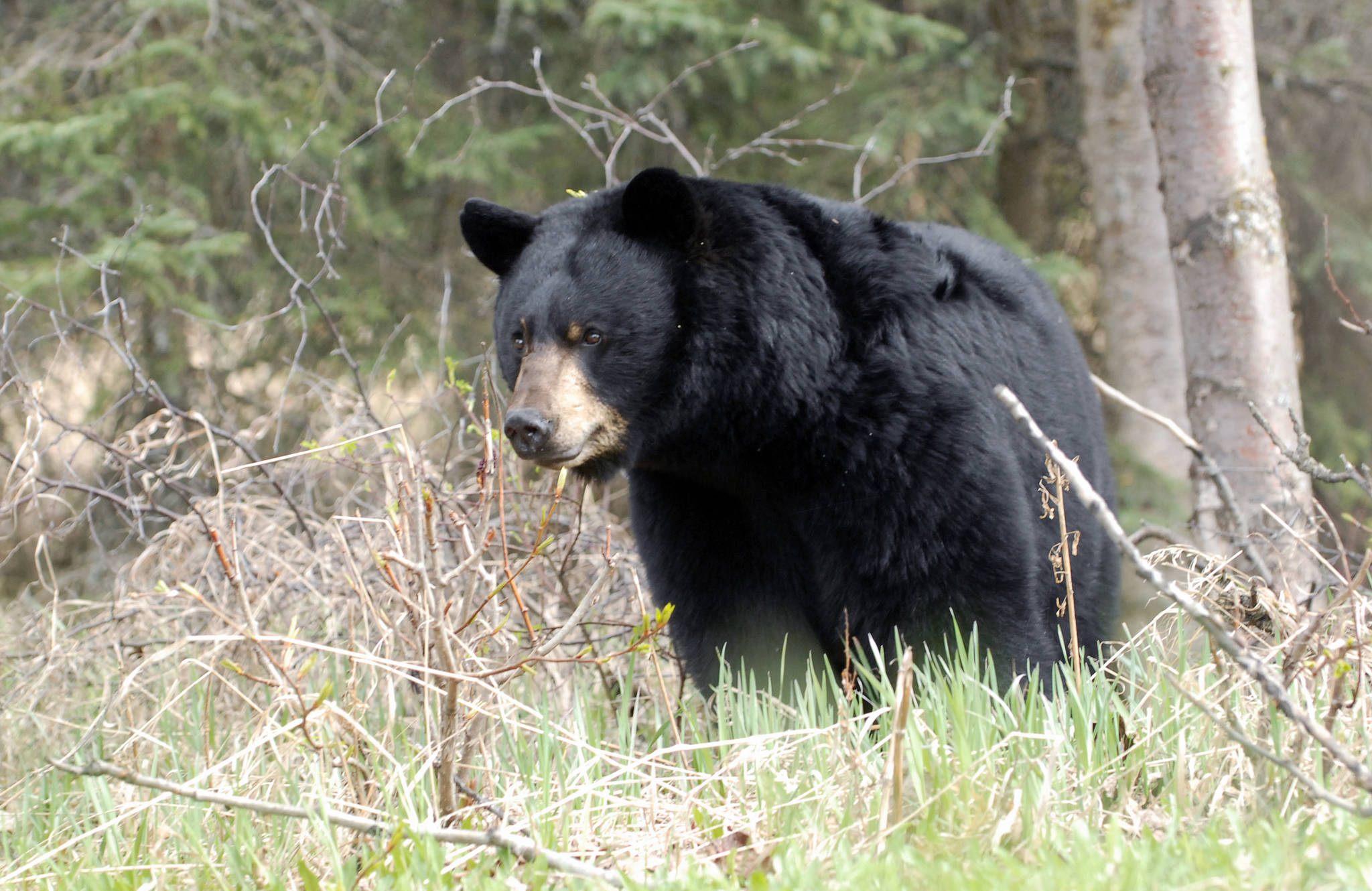 Fish And Game Kills 2 Black Bears In Eagle River Valley