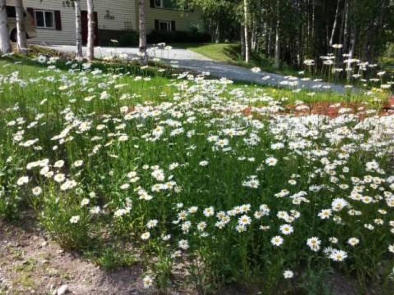 In the garden spring brings perennials the alaska star daisies are a common alaska perennial photo by marian poundcourtesy mightylinksfo