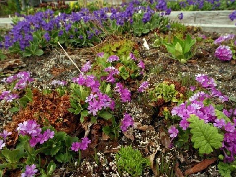 Fran Durner / Anchorage Daily News Mixed Primula Planting