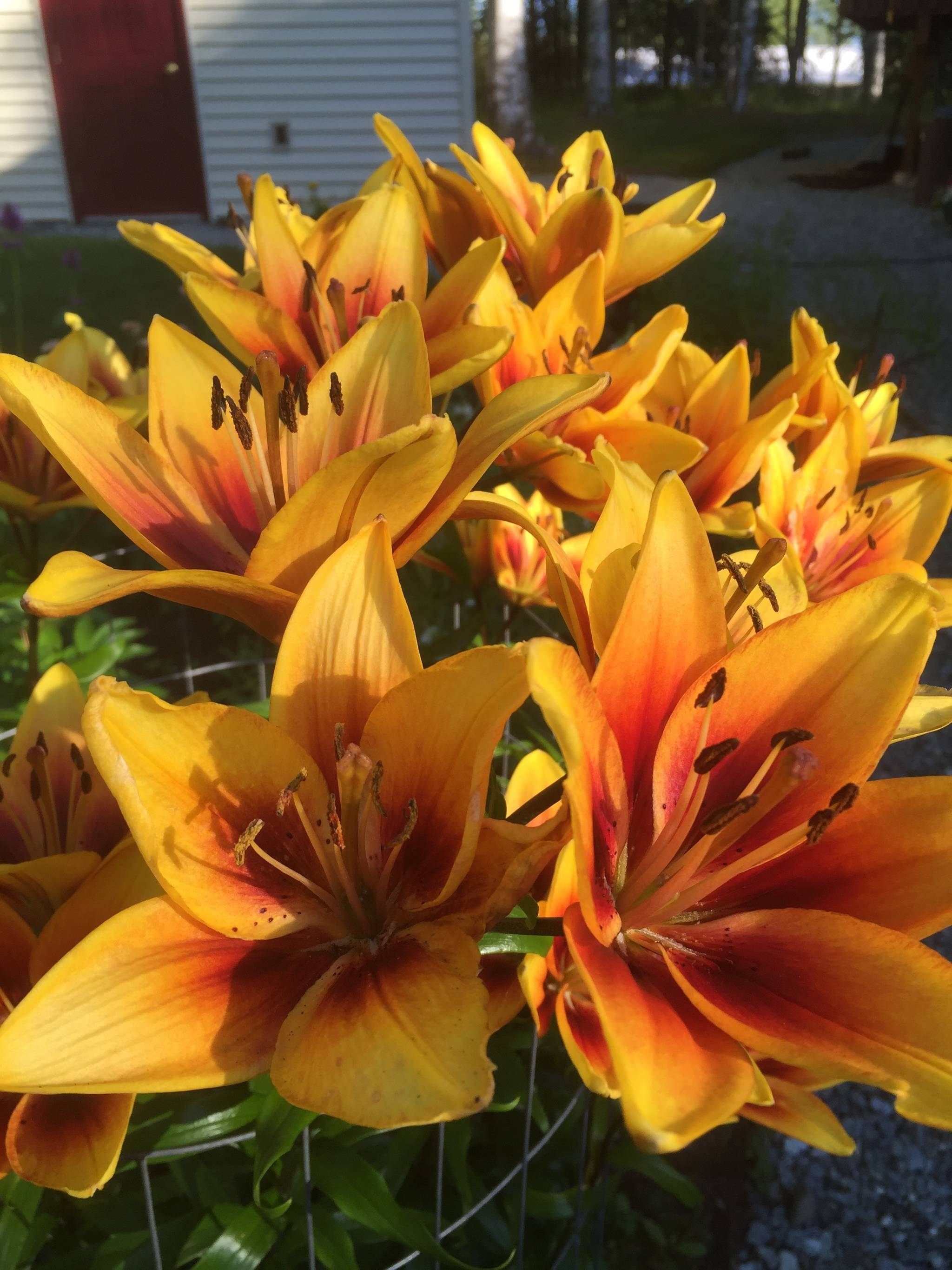 In the garden growing and care of asiatic lilies the alaska star izmirmasajfo Image collections